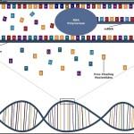 DNA Transcription Diagram Template